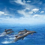 Dolphins jumping out of clear blue sea. Marine wildlife background - dolphins jumping out of clear blue sea, blue sky with white clouds royalty free stock photo