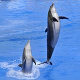 Dolphins jumping out of water. Two bottlenose dolphins (Tursiops truncatus) jumping out of water stock images