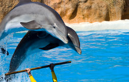 Dolphins jumping out from water Stock Images