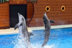 Dolphins jumping out of water royalty free stock photo