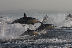 Dolphins. Jumping out of the water stock photo
