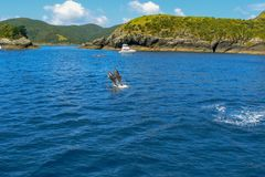 Dolphins jumping out of the water in the Bay of Islands, North Island, New Zealand stock photos