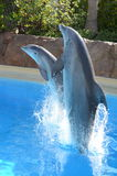 Dolphins jumping. Out of water in last Vegas Royalty Free Stock Photography