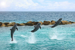 Dolphins jumping out of the water. Three dolphins jumping in and out of the water.  Giving a show Royalty Free Stock Photo