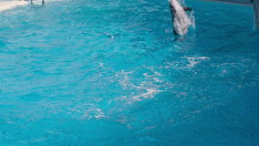 Dolphins Jumping in the Pool. Trained dolphins jumping in the pool stock footage