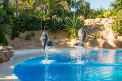 Dolphins jumping spectaculary high at aquarium show. Showing intelligence and grace of sea mammals stock photos