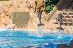Dolphins jumping spectaculary high at aquarium show. Showing intelligence and grace of sea mammals stock photography