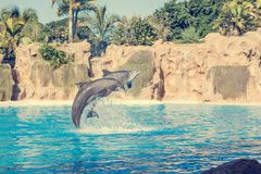 Dolphins jumping spectaculary high at aquarium show. Showing intelligence and grace of sea mammals royalty free stock photo