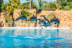 Dolphins jumping spectaculary high at aquarium show. Showing intelligence and grace of sea mammals royalty free stock image