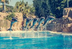Dolphins jumping spectaculary high at aquarium show. Showing intelligence and grace of sea mammals royalty free stock photos