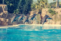 Dolphins jumping spectaculary high at aquarium show. Showing intelligence and grace of sea mammals stock image