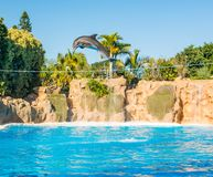 Dolphins jumping spectaculary high at aquarium show. Showing intelligence and grace of sea mammals royalty free stock photography