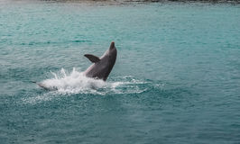 Dolphins jumping and splashing Stock Photo