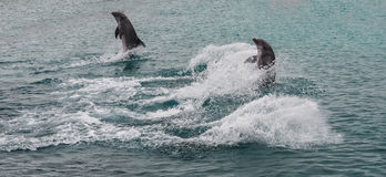Dolphins jumping and splashing Royalty Free Stock Photo
