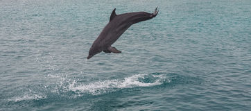 Dolphins jumping and splashing Stock Images