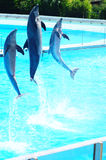 Dolphins Jumping. Three dolphins jumping and playing at an aquarium Stock Images