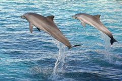Dolphins jumping two. Two Bottlenose dolphins jumping out of clear blue water royalty free stock photography