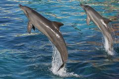 Dolphins Jumping Two. Bottlenose dolphins jumping out of blue water Royalty Free Stock Image