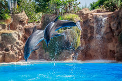 Dolphins jumping. Two  dolphins jumping in the swimming pool Royalty Free Stock Images