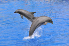 Dolphins jumping up out of water Royalty Free Stock Images