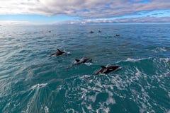 Dolphins, Kaikoura, New Zealand Stock Image