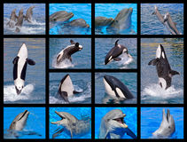 Dolphins and killer whales Stock Image