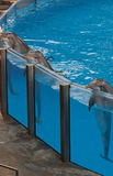 Dolphins leaning on edge of pool Royalty Free Stock Photos