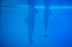 Dolphins in Lisbon Zoo Royalty Free Stock Photography