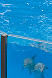 Dolphins looking through glass of pool Stock Photography
