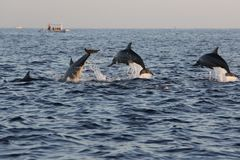 Dolphins at Lovina beach in Bali, Indonesia stock photography
