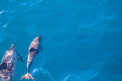 Dolphins of Madeira Stock Photography