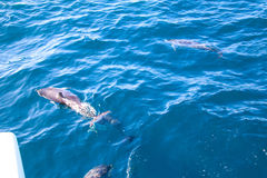 Dolphins of Madeira Royalty Free Stock Image