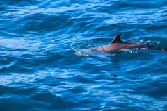 Dolphins of Madeira Royalty Free Stock Images