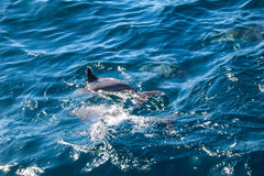 Dolphins of Madeira Stock Images