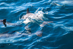 Dolphins of Madeira Royalty Free Stock Photo