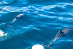 Dolphins of Madeira Stock Photos