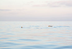 Free Dolphins Mallorca Stock Photos - 43007083