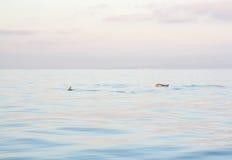 Dolphins Mallorca Stock Photos