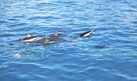 Dolphins, Maui, Hawaii. A school of Dolphins swimming  in Maui, Hawaii Stock Photos