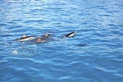 Dolphins Maui Hawaii. View in Lahaina, Maui, Hawaii as Dolphins swim Stock Photos