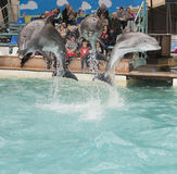Dolphins: Mom and 2 sons in a jump in the Rostov dolphinarium Royalty Free Stock Image