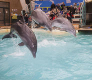 Dolphins: Mom and 2 sons in a jump in the Rostov dolphinarium Stock Images
