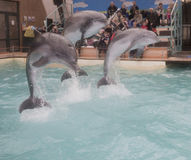 Dolphins: Mom and 2 sons in a jump in the Rostov dolphinarium Royalty Free Stock Photos