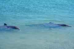 Dolphins at monkey mia, sharkes bay, western australia 1. Dolphins in the ocean at monkey mia, sharkes bay, western australia stock images