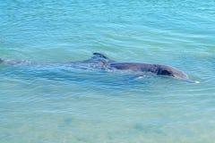 Dolphins at monkey mia, sharkes bay, western australia 2. Dolphins in the ocean at monkey mia, sharkes bay, western australia stock images