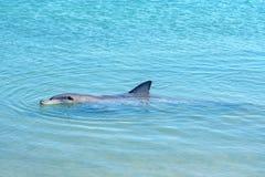 Dolphins at monkey mia, sharkes bay, western australia 4. Dolphins in the ocean at monkey mia, sharkes bay, western australia royalty free stock image