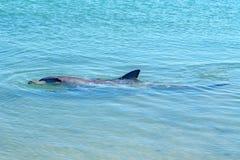 Dolphins at monkey mia, sharkes bay, western australia 3. Dolphins in the ocean at monkey mia, sharkes bay, western australia stock photo