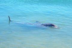 Dolphins at monkey mia, sharkes bay, western australia 6. Dolphins in the ocean at monkey mia, sharkes bay, western australia stock image