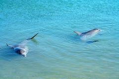 Dolphins at monkey mia, sharkes bay, western australia 5. Dolphins in the ocean at monkey mia, sharkes bay, western australia stock image