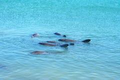 Dolphins at monkey mia, sharkes bay, western australia 9. Dolphins in the ocean at monkey mia, sharkes bay, western australia royalty free stock photos
